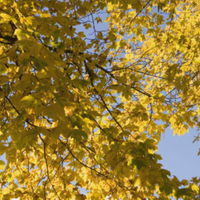 Yellow automn leaves