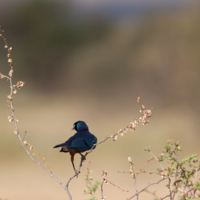 R�ppell's Starling